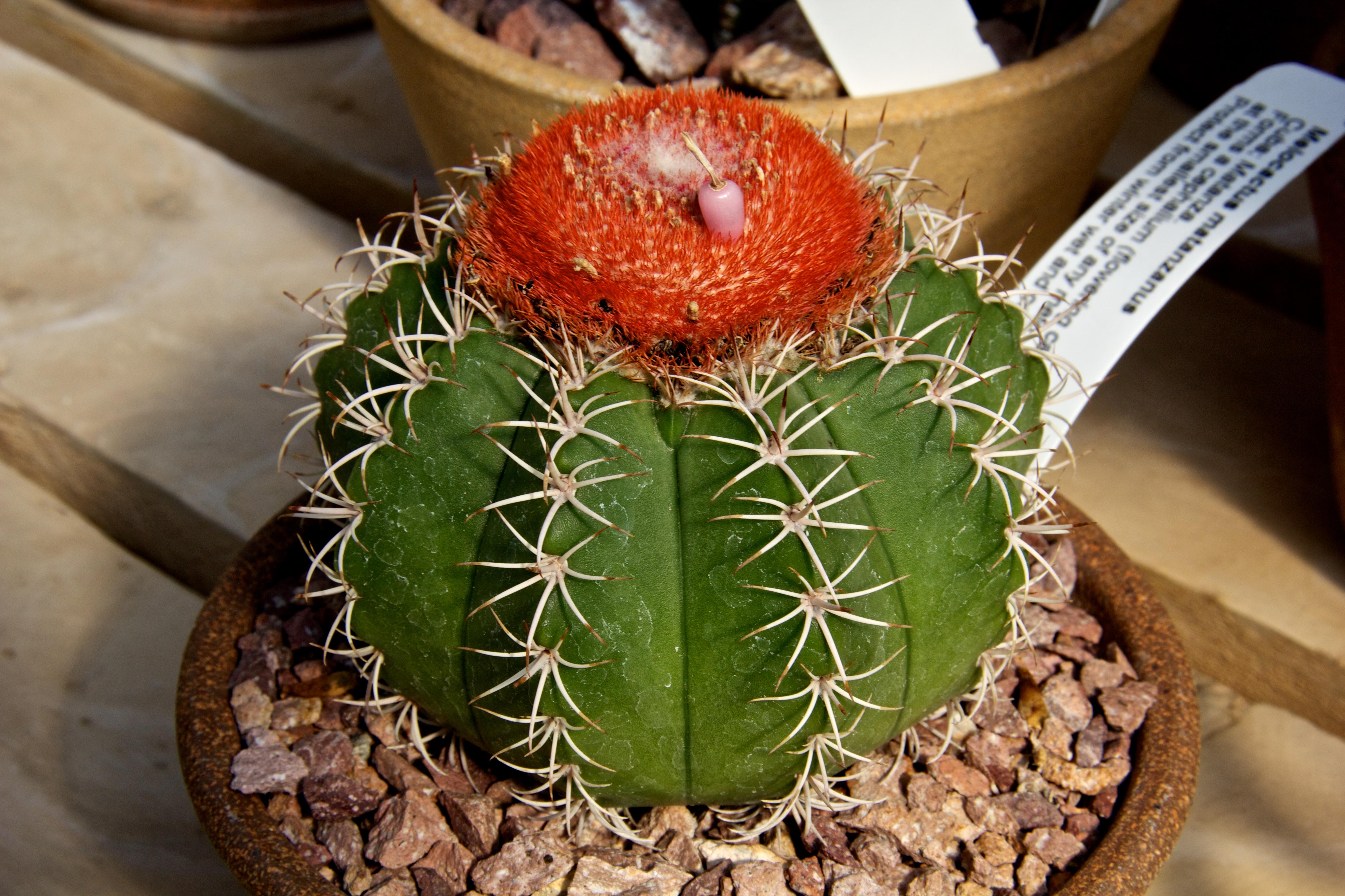 Kaktusas melocactus (melokaktusas)