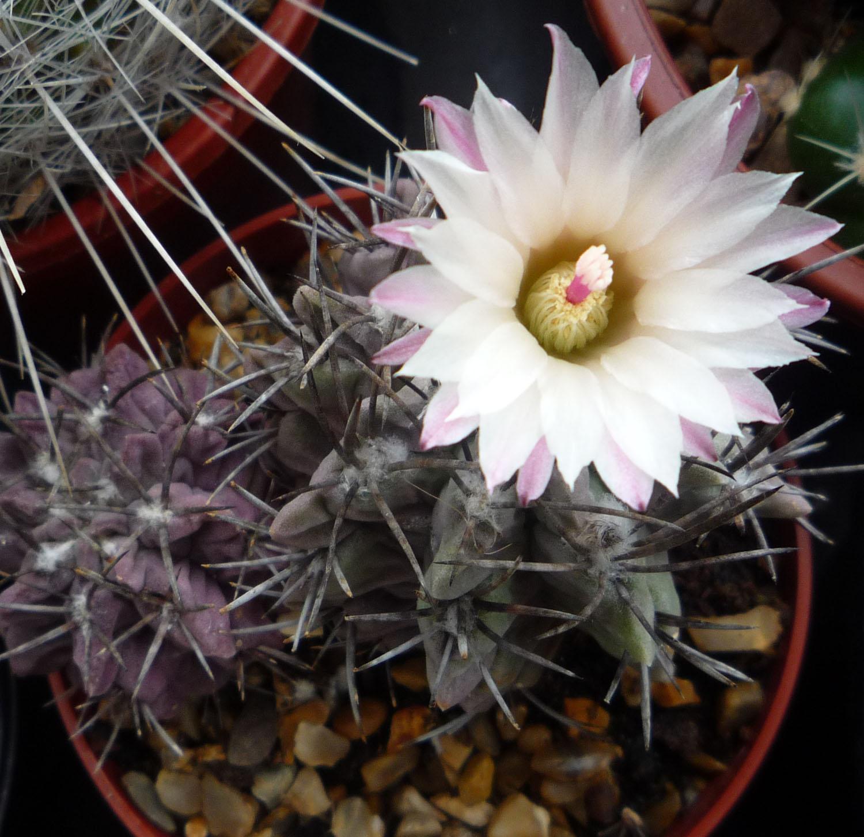 Kaktusas neoporterija