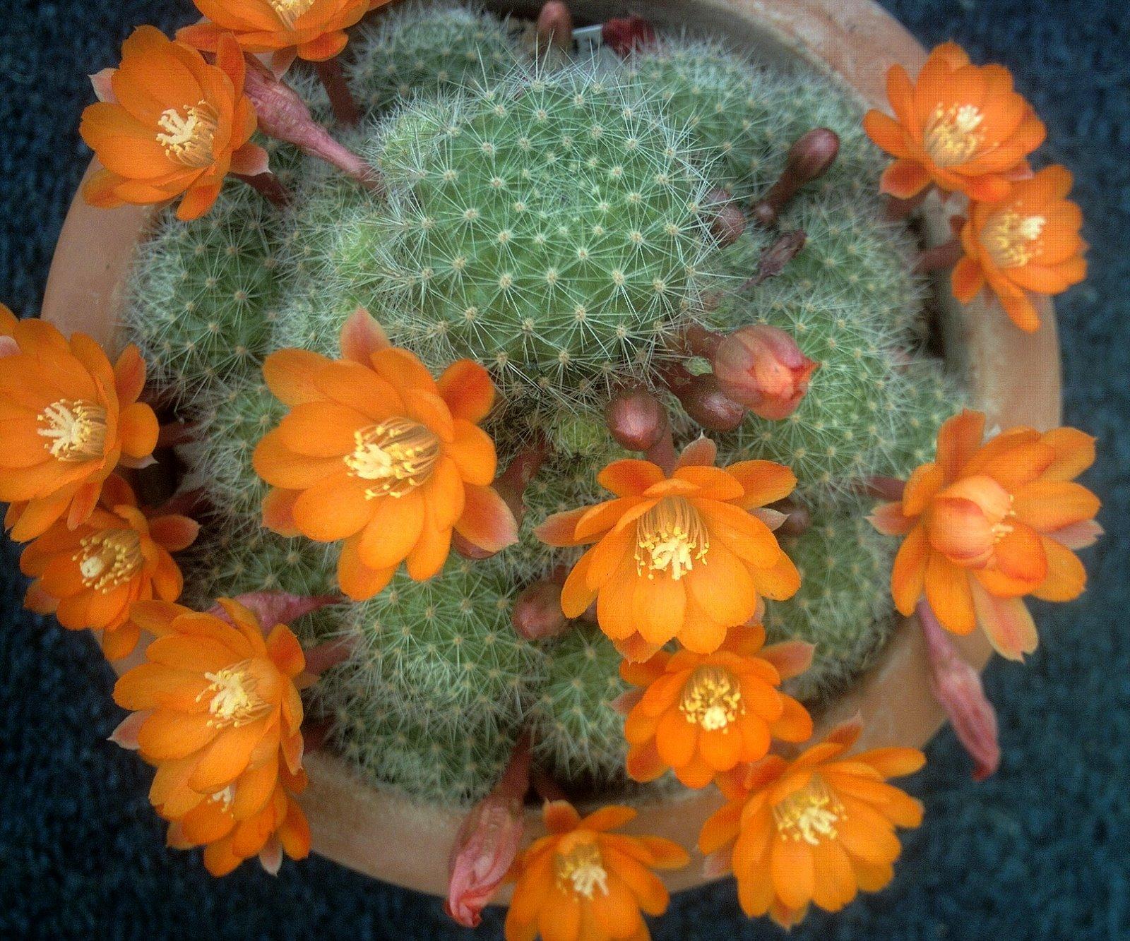 Gėlės nuotrauka. (Pavadinimas: Kaktusas rebutija)