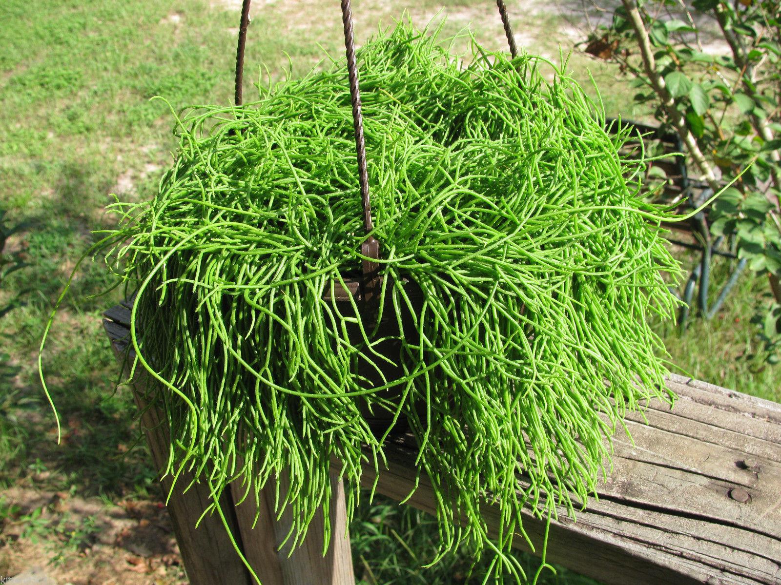 Kaktusas Ripsalis (rhipsalis)
