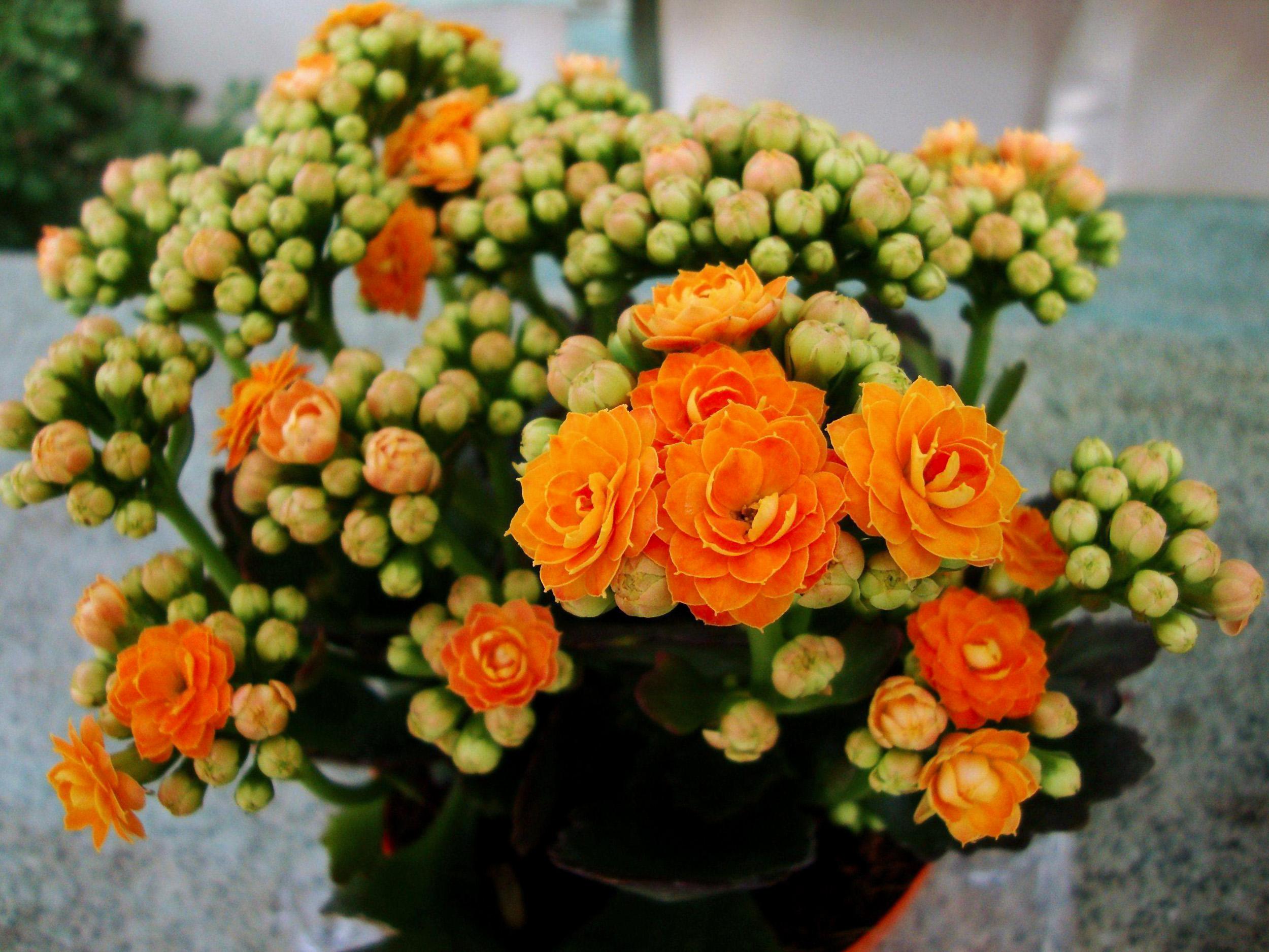 Kalankė žydinti oranžiniais žiedais