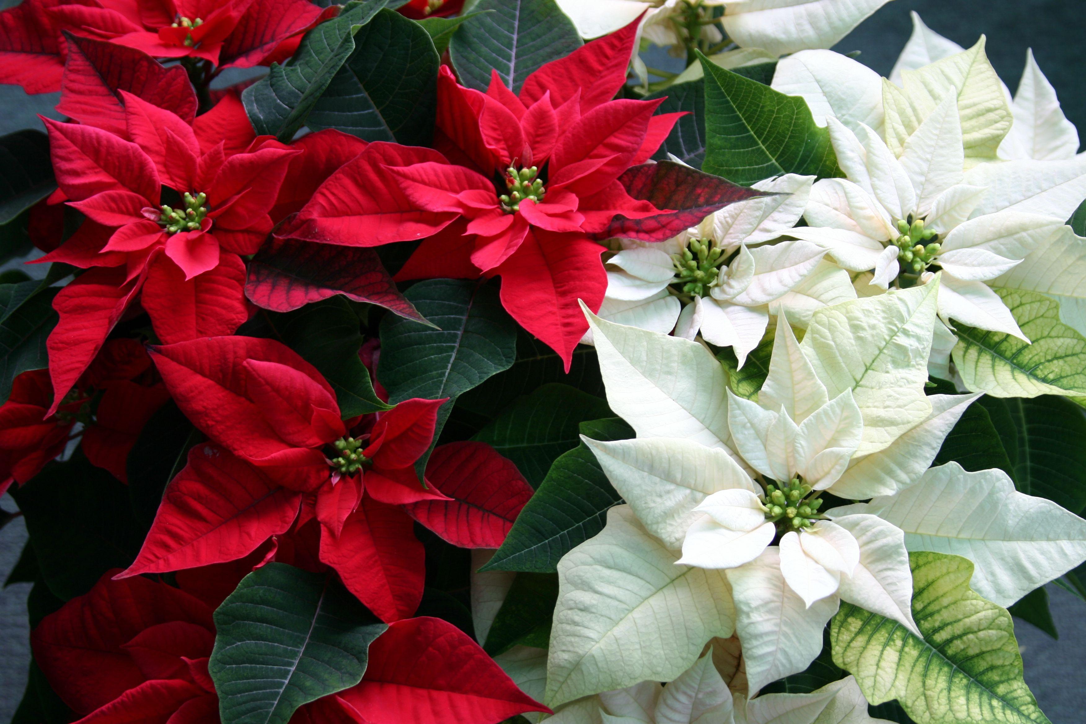 Puošniausioji karpažolė: Kalėdinė gėlė (Puansetija)