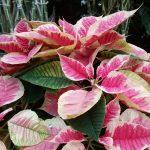 Rausvaspalvė kaledų gėlė (puansetija)