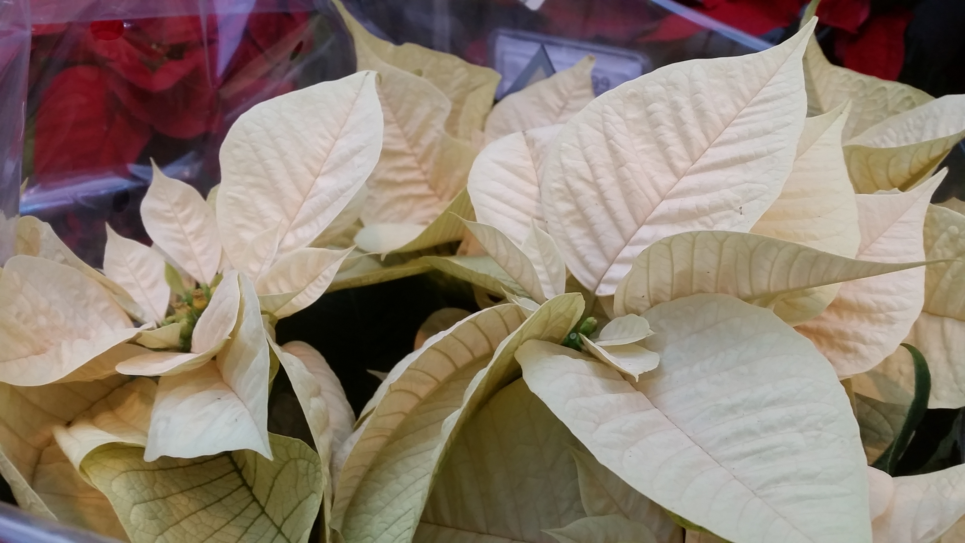 Kalėdų gėlė baltais lapais