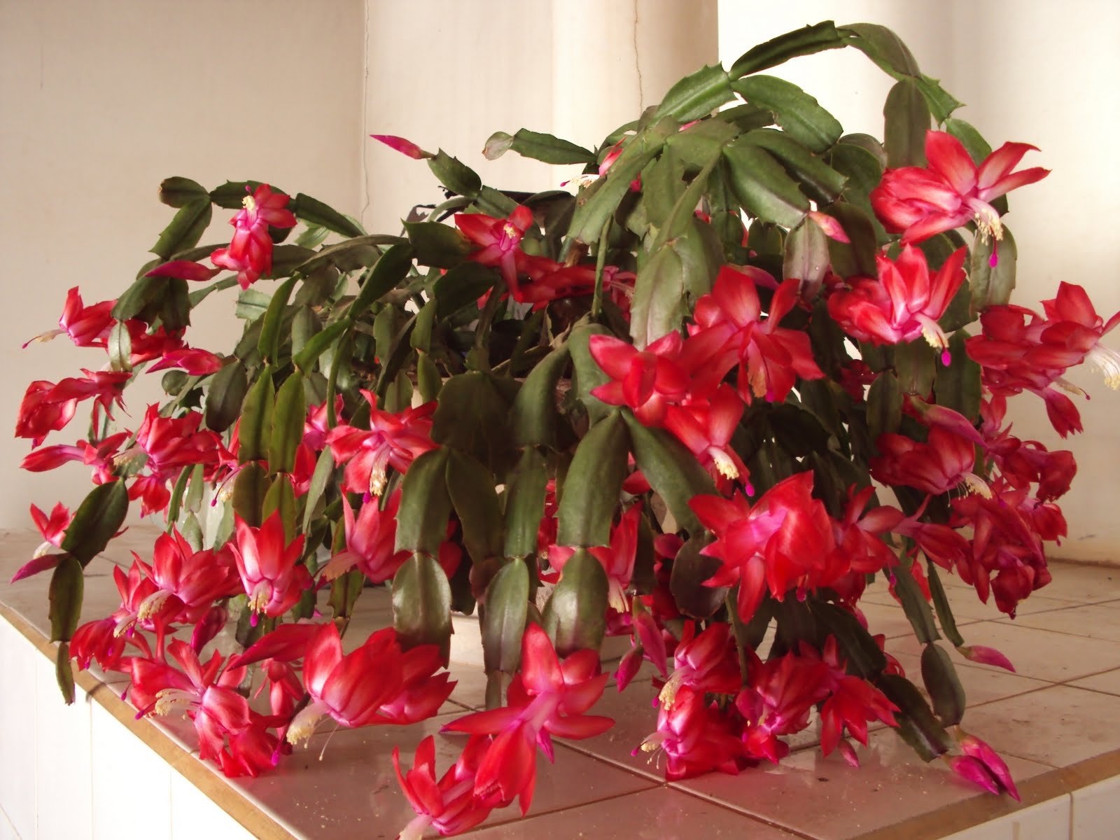 Gėlės nuotrauka. (Pavadinimas: Kalėdinis kaktusas)