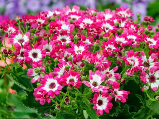 Gėlės nuotrauka. (Pavadinimas: Cinerarija)