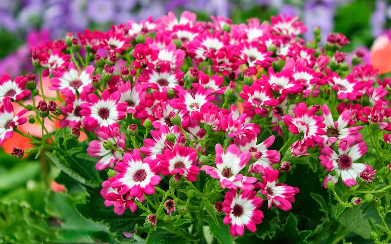 Kambarinė gėlė cinerarija