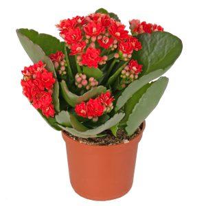Kambarinė gėlė (raudonžiedė kalankė)