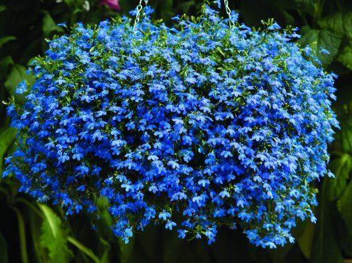 Gėlės nuotrauka. (Pavadinimas: Lobelija)