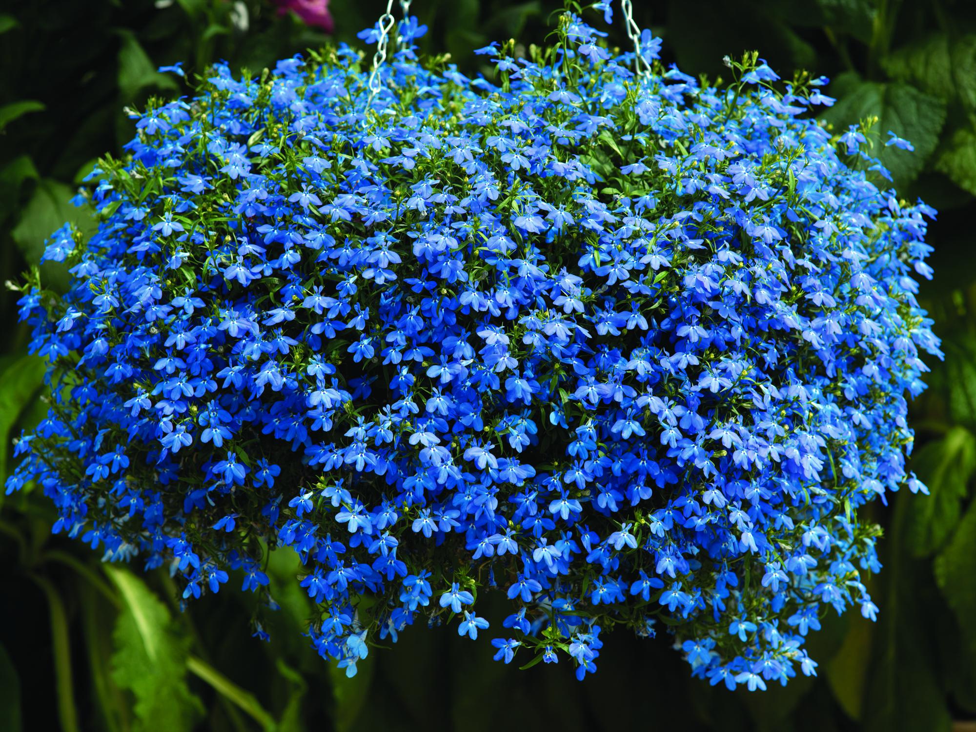 Gėlė Lobelija