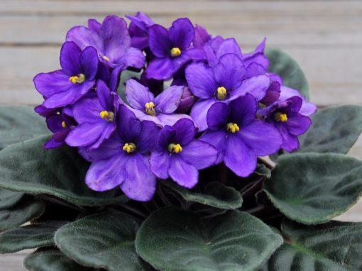 Gėlės nuotrauka. (Pavadinimas: Sanpaulija)