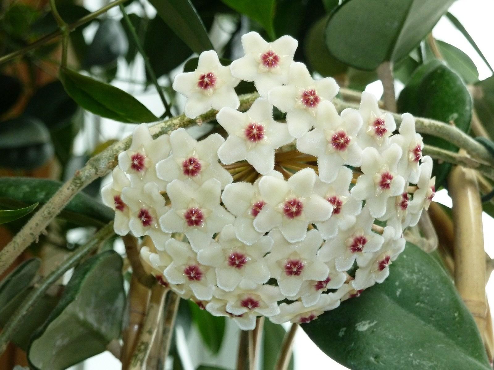 Gėlė Vaškuolė