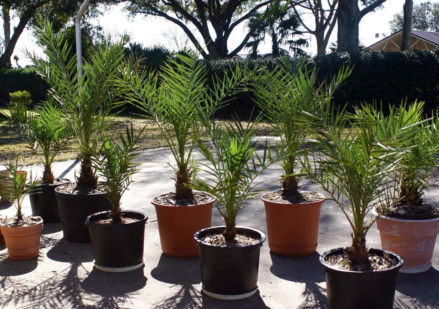 Kambarinės gėlės palmės