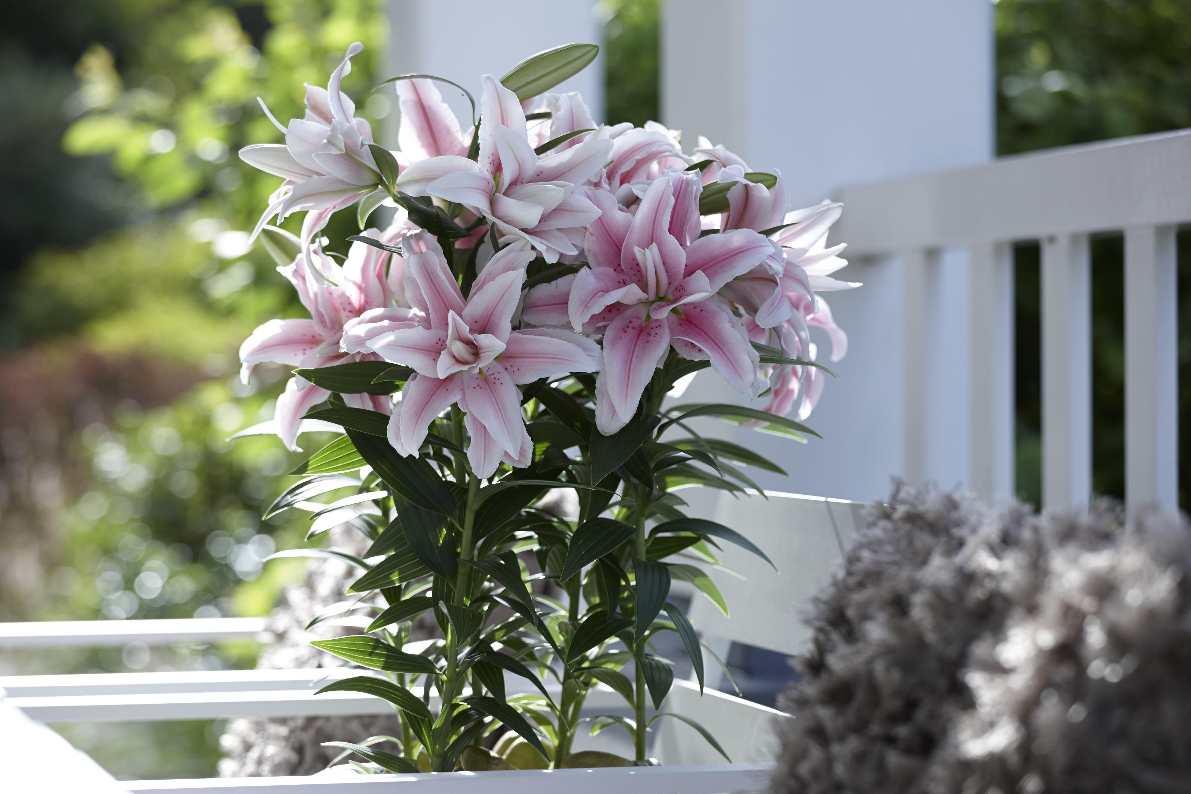 Gėlės nuotrauka. (Pavadinimas: Lelija)