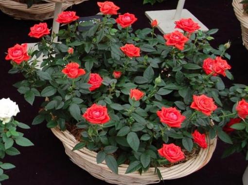 Gėlės nuotrauka. (Pavadinimas: Kambarinė rožė)