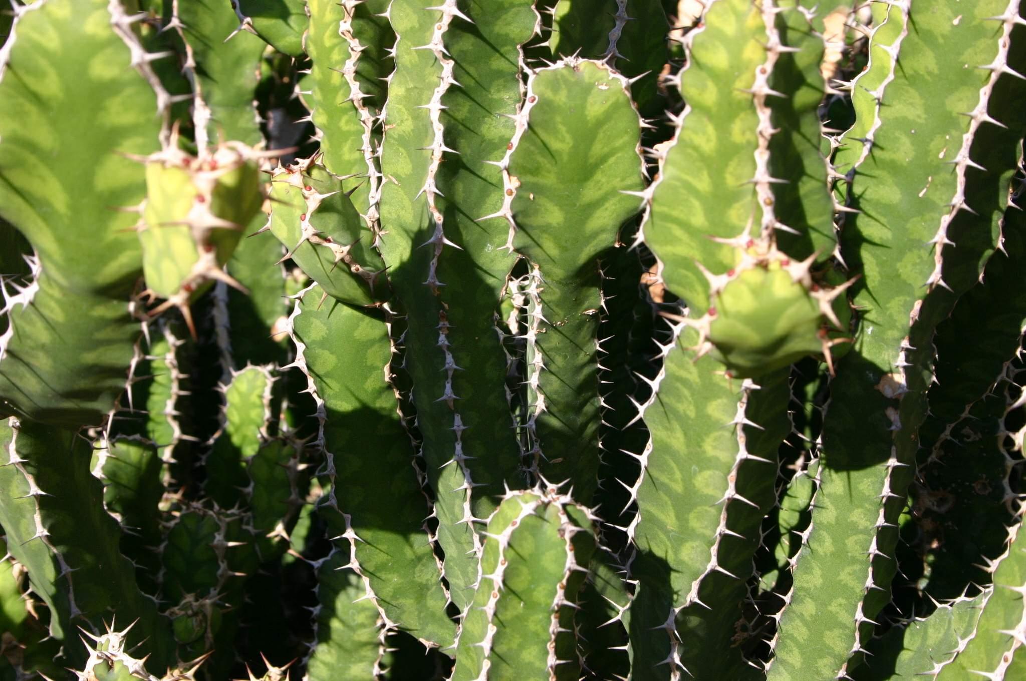 Augalas Karpažolė