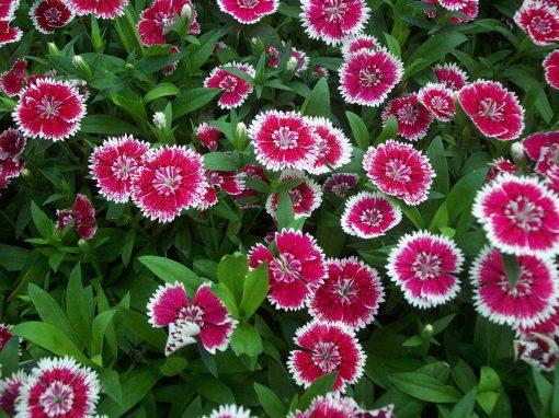 Gėlės nuotrauka. (Pavadinimas: Kininis gvazdikas)