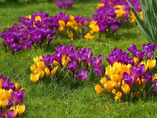 Gėlės nuotrauka. (Pavadinimas: Krokas)