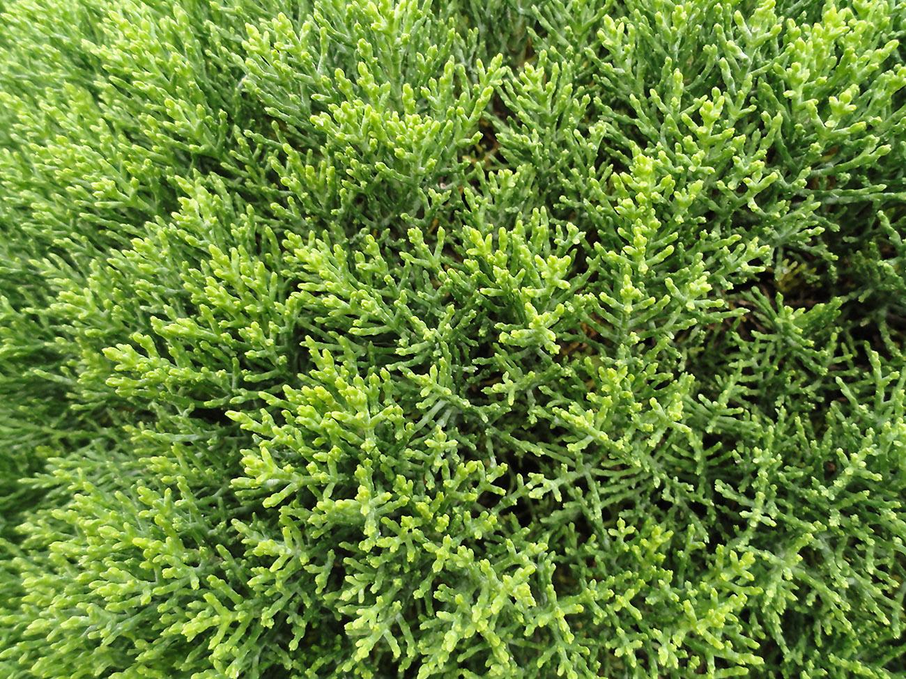 Krūmas HEBĖ (cupressoides)