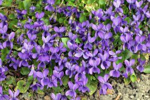 Kvapiosios našlaitės (Viola odorata)