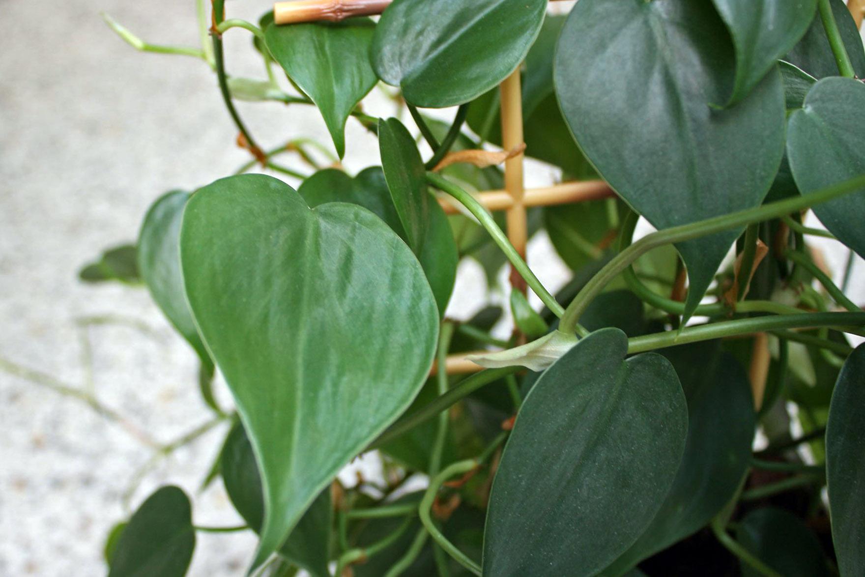 Laipiojantis augalas filodendras