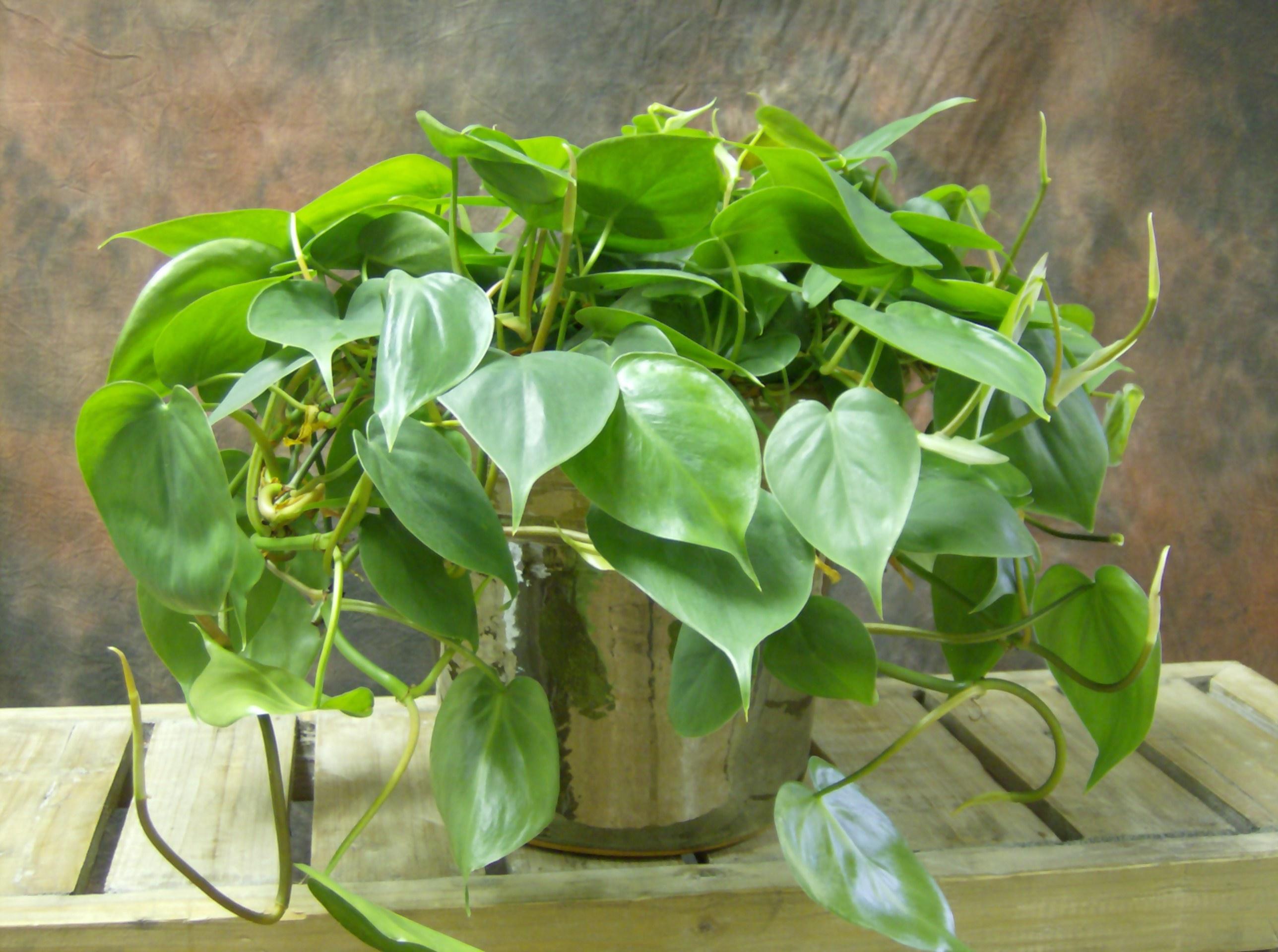 Filodendras (laipiojantis augalas)