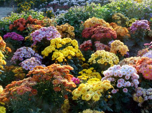 Gėlės nuotrauka. (Pavadinimas: Chrizantema)