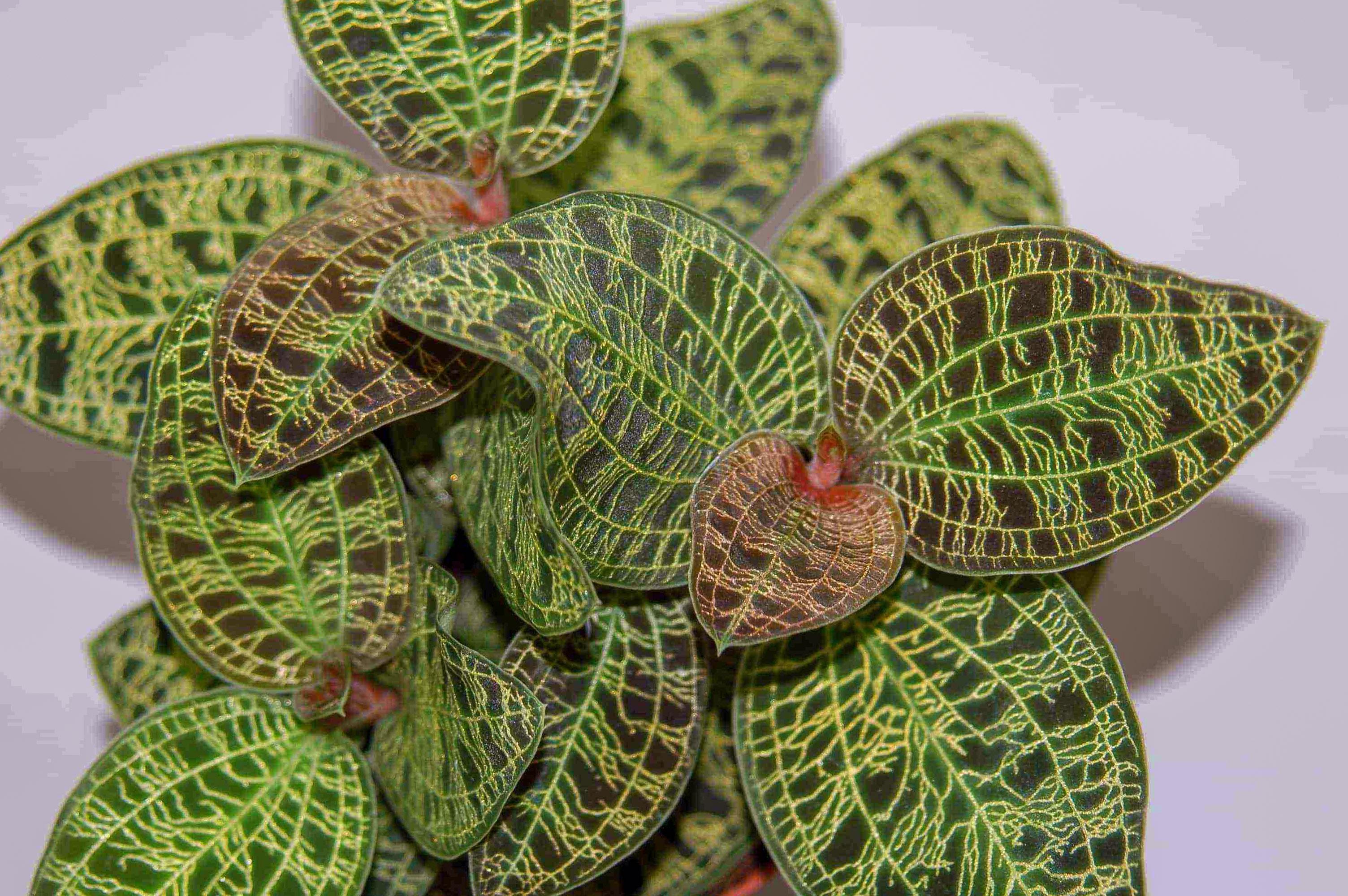 Margalapės orchidėjos