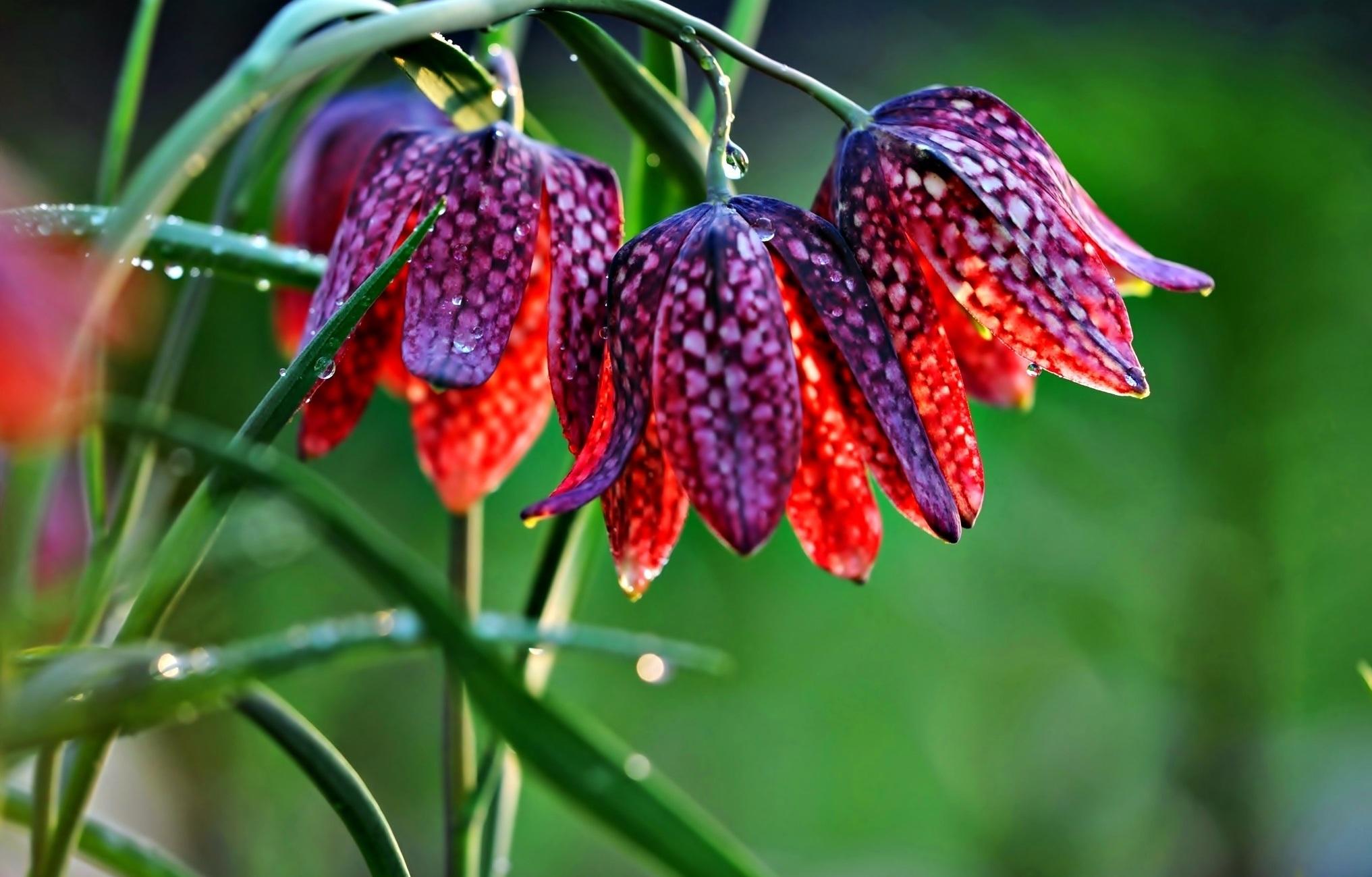 Margaspalvis gėlės margutės žiedas
