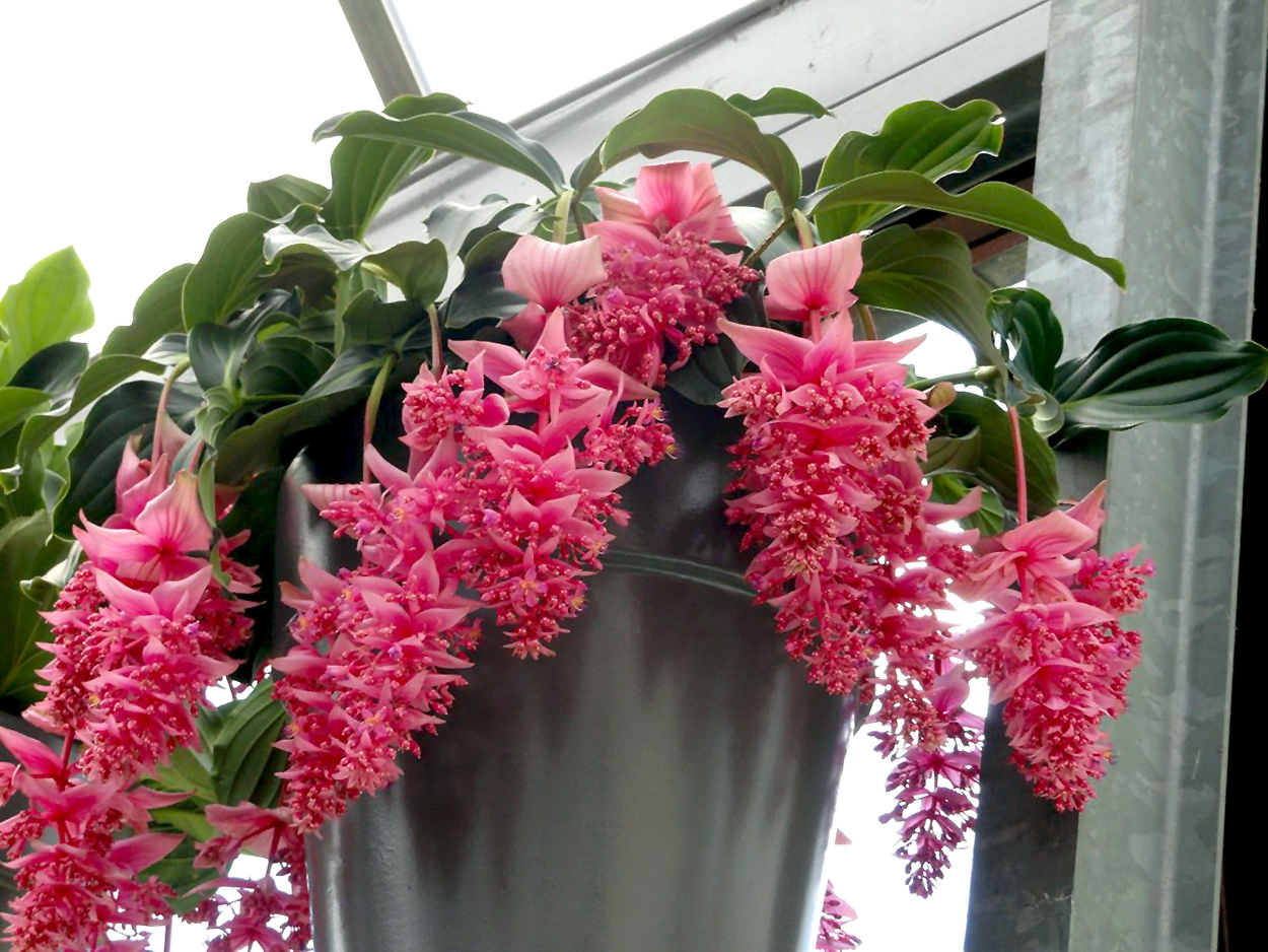 Medinilla Magnifica (Gėlė)