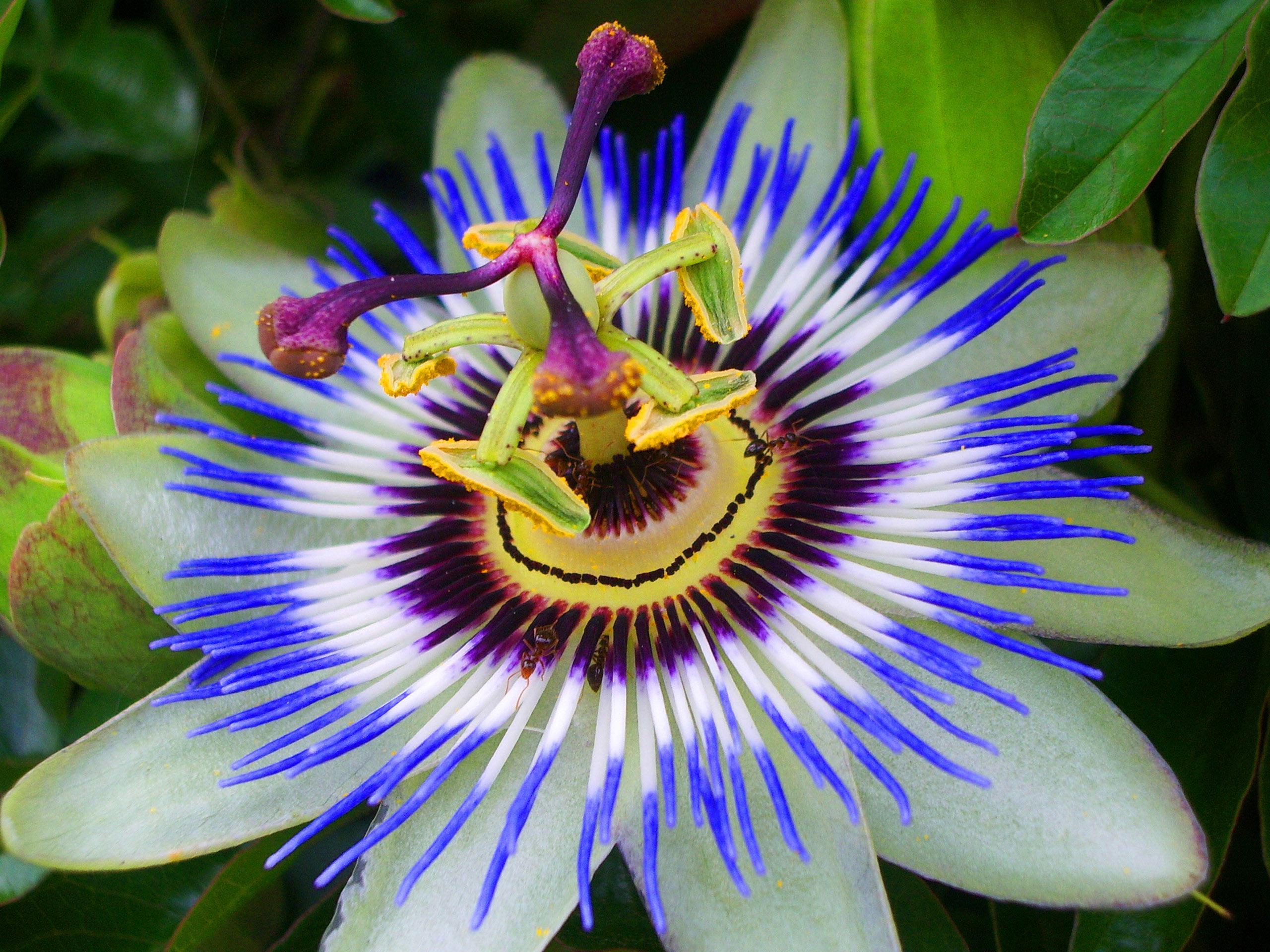 Mėlynai žydinti pasiflora caeruela