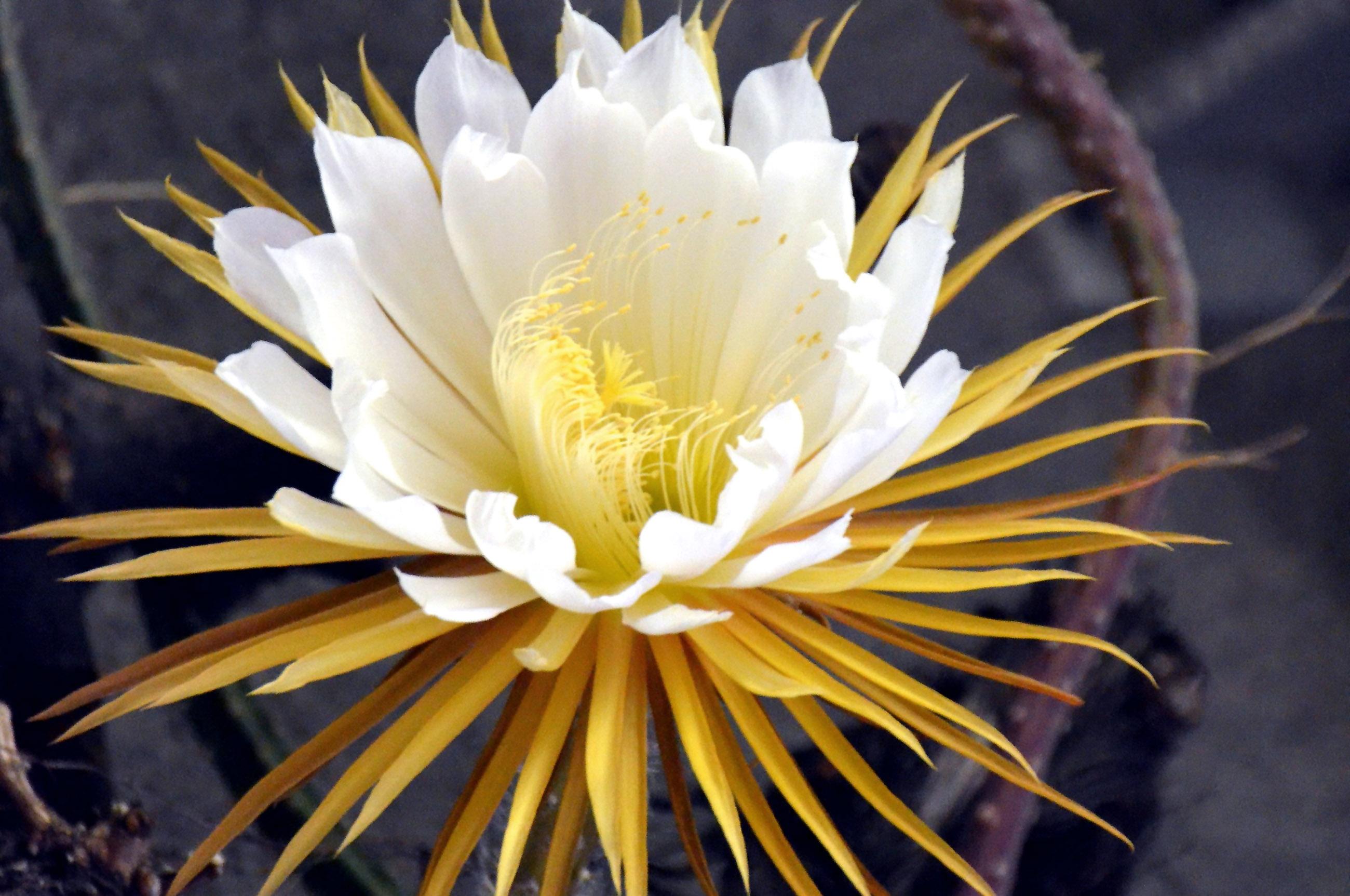 Nakties karalienė gėlė