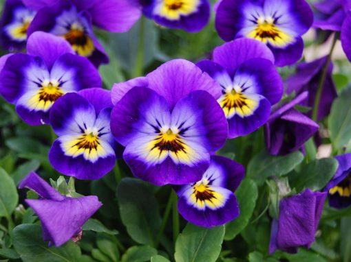 Gėlės nuotrauka. (Pavadinimas: Našlaitė)