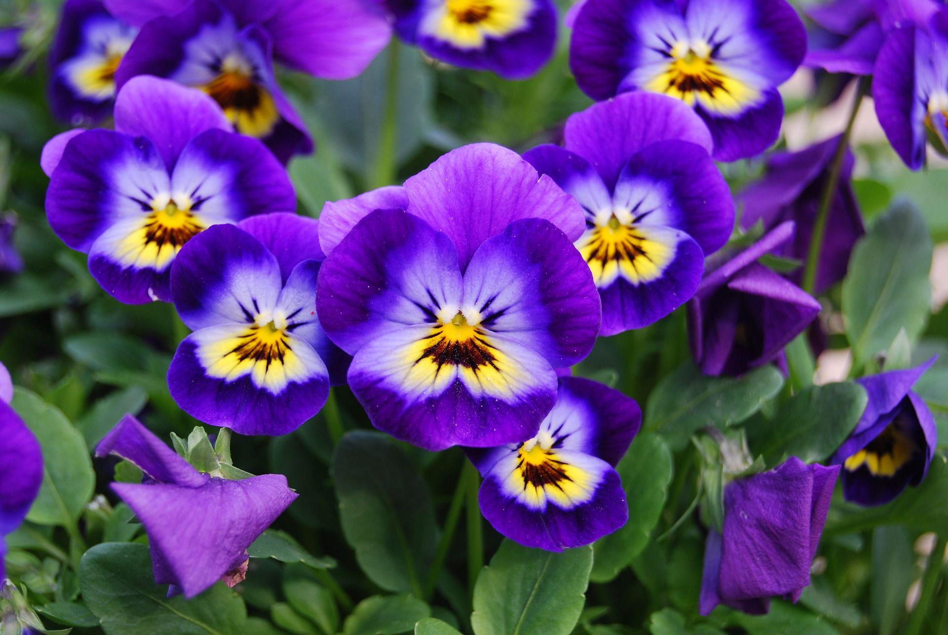 Gėlė našlaitė (viola)