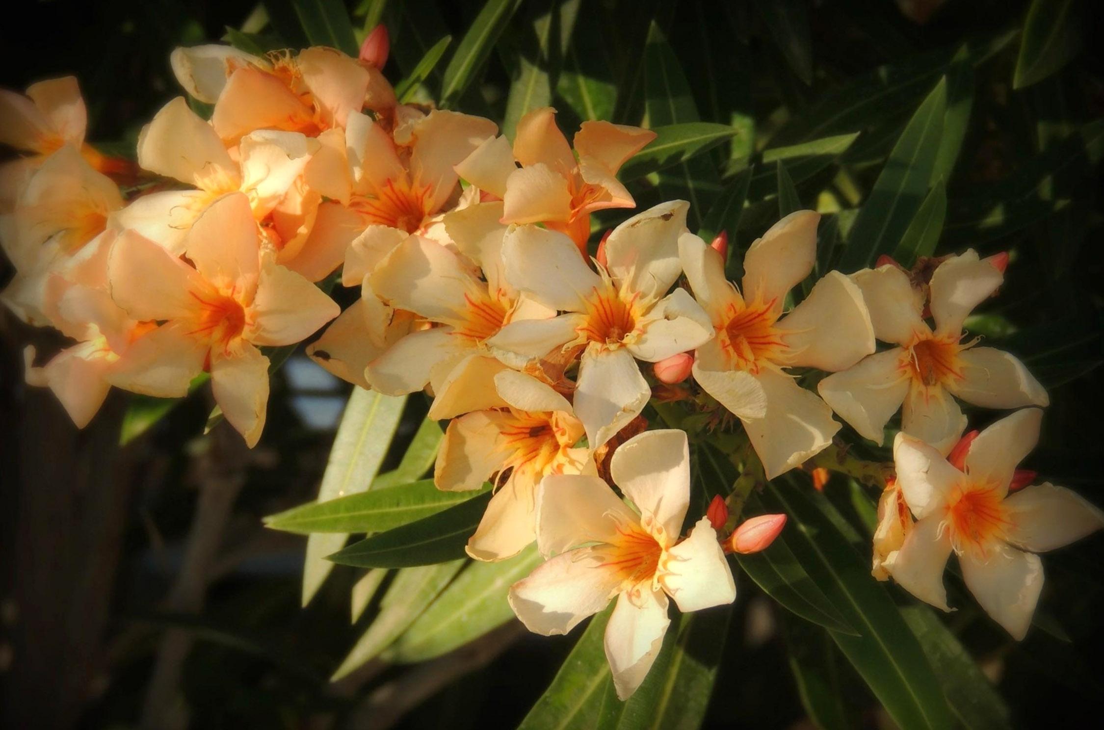 Nerium oleander (oranžinis)