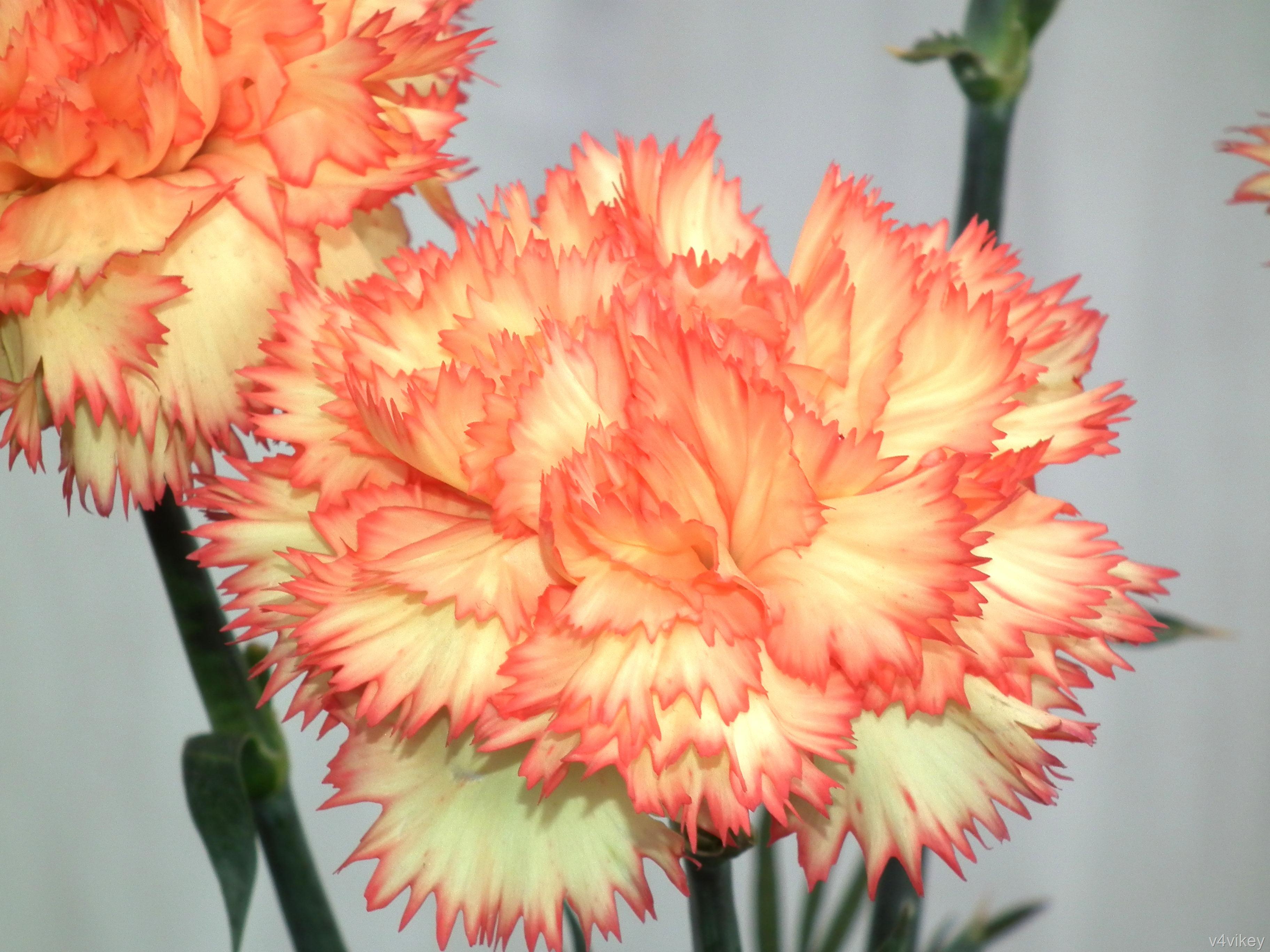 Oranžinis šabo gvazdikas
