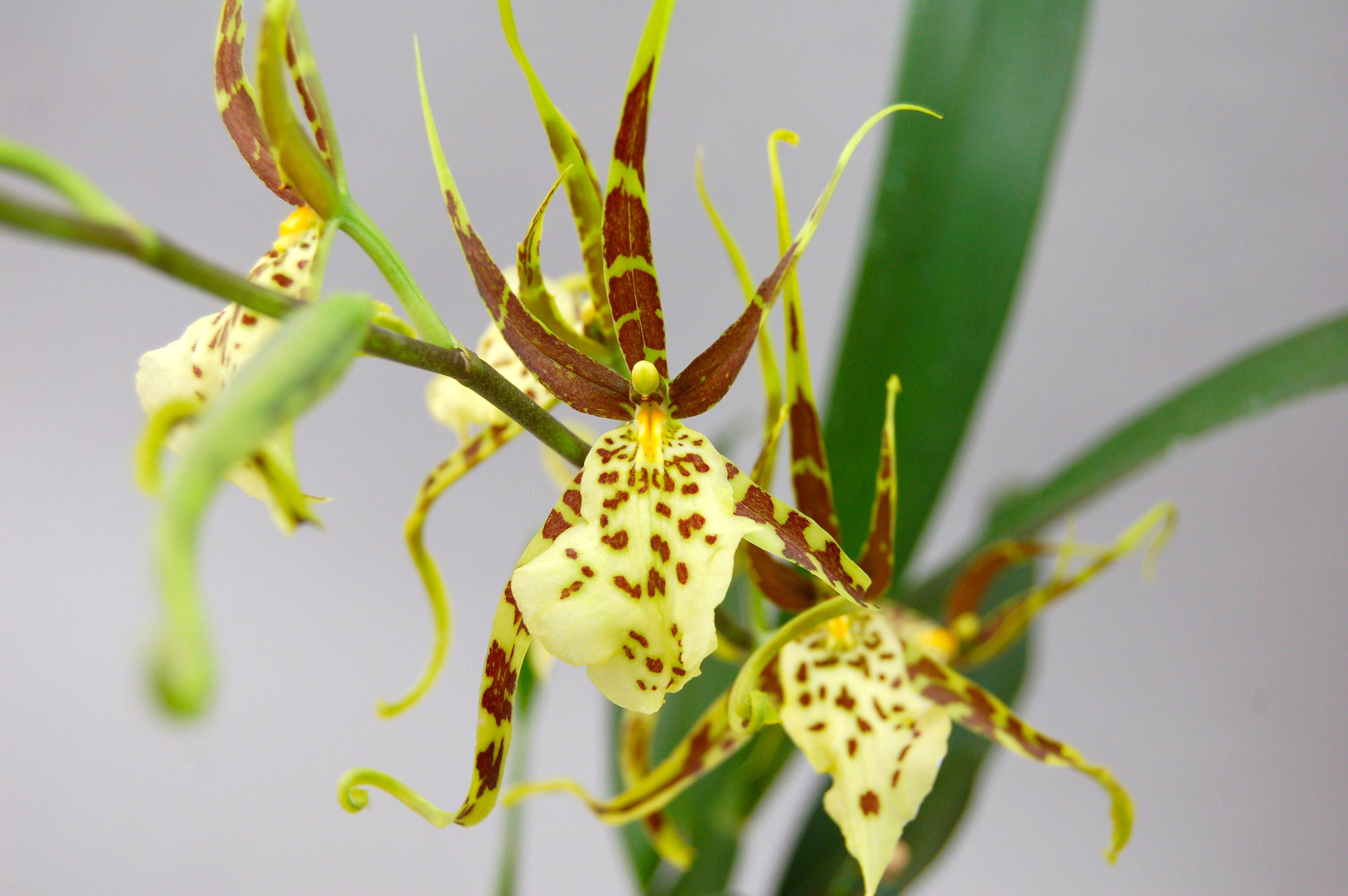 Gėlės nuotrauka. (Pavadinimas: Orchidėja brassia)