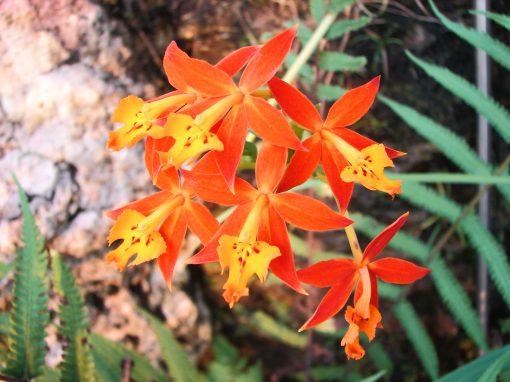 Gėlės nuotrauka. (Pavadinimas: Orchidėja epidendras)