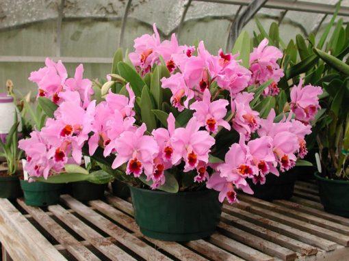 Gėlės nuotrauka. (Pavadinimas: Orchidėja katlėja)