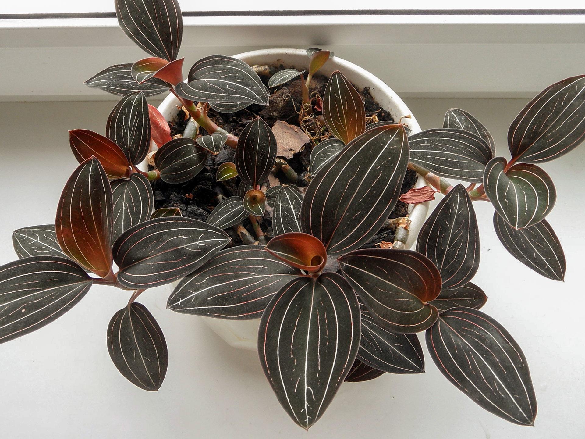 Orchidėja ludizija