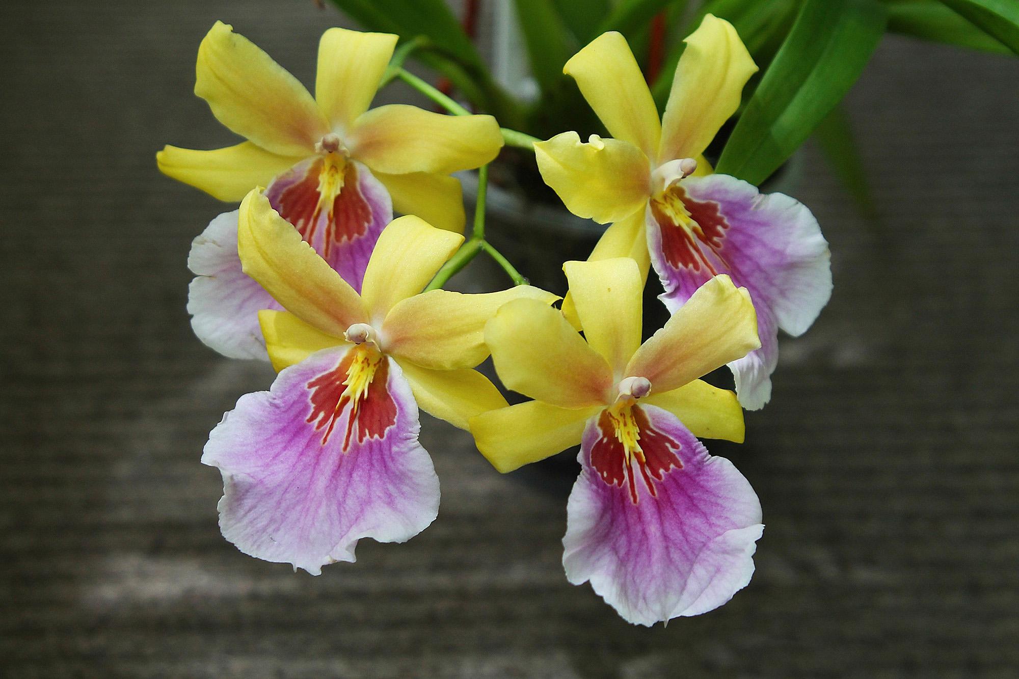 Orchidėja Miltonia