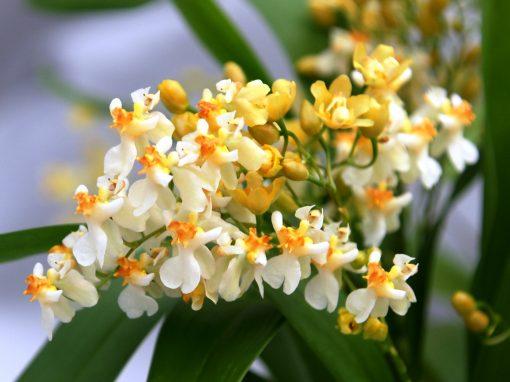 Gėlės nuotrauka. (Pavadinimas: Orchidėja oncidija)