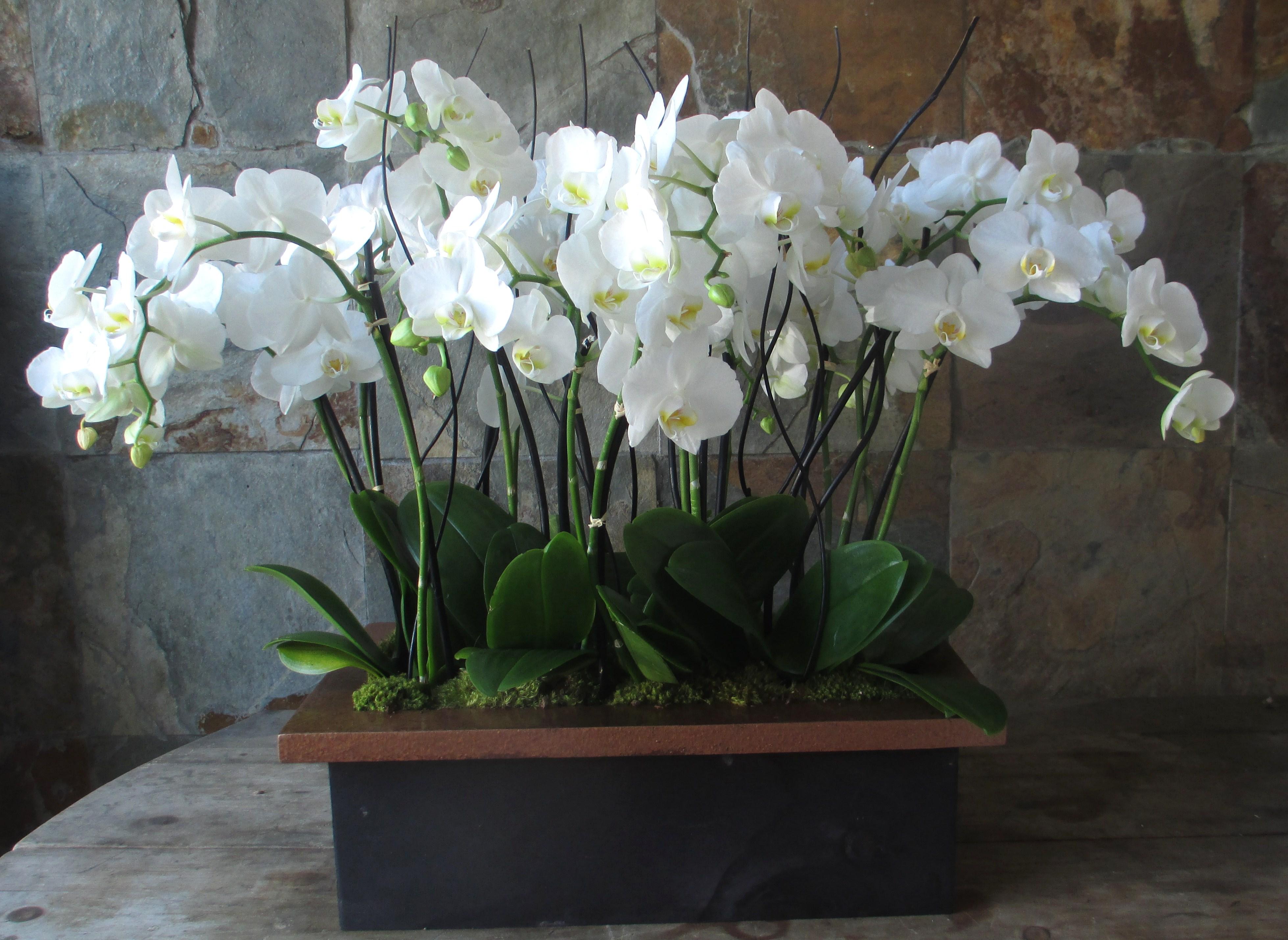 Gėlės nuotrauka. (Pavadinimas: Orchidėja Phalaenopsis)
