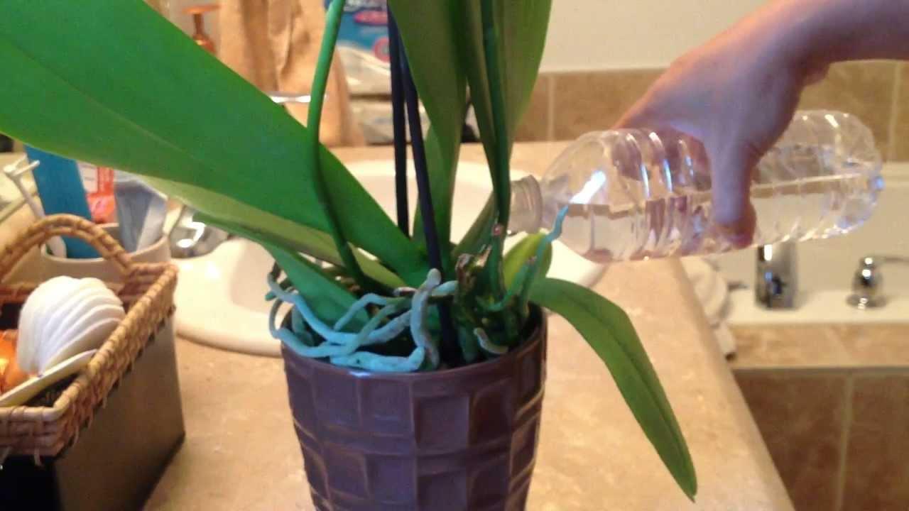 Orchidėjų laistymas