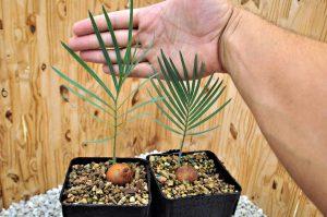 Palmė cikas iš sėklų