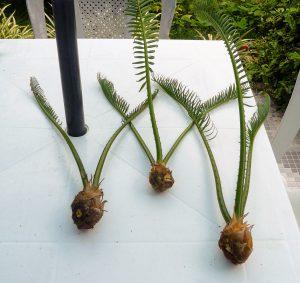 Palmė cikas (persodinimas)