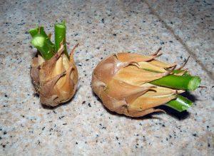 Palmė cikas (sodinukai)