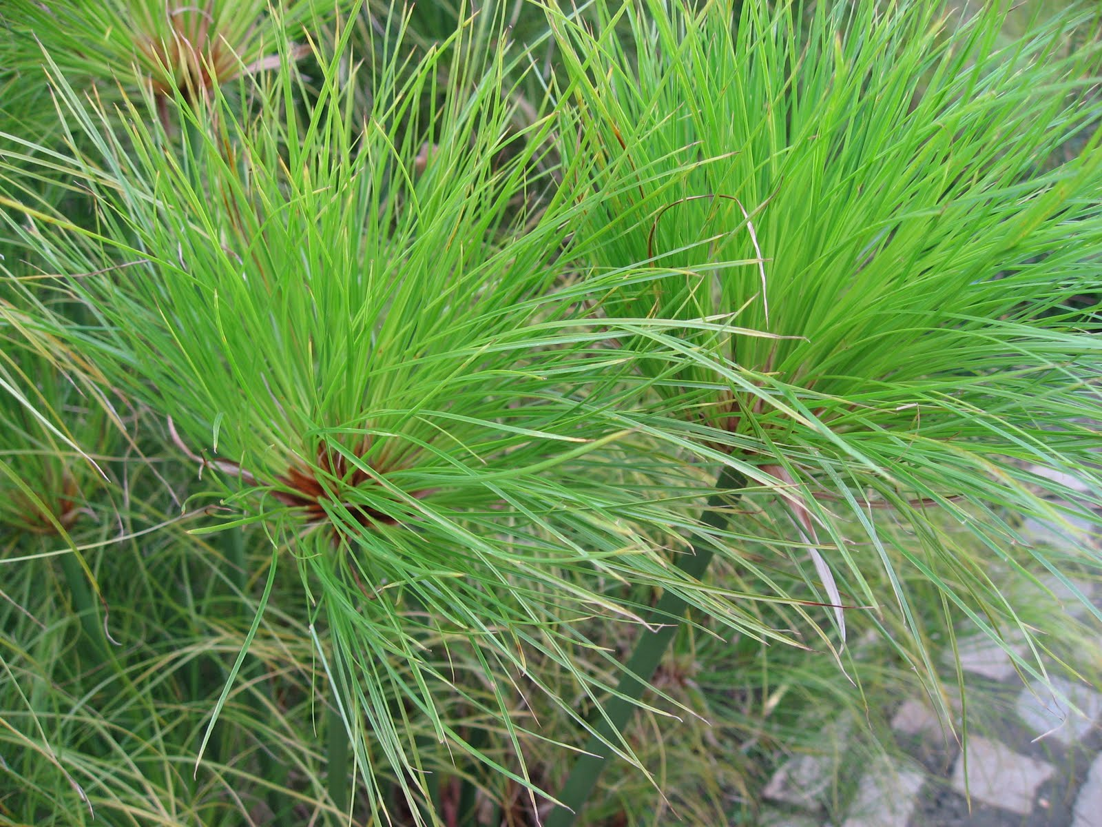 Papirusinė viksvuolė (augalas)