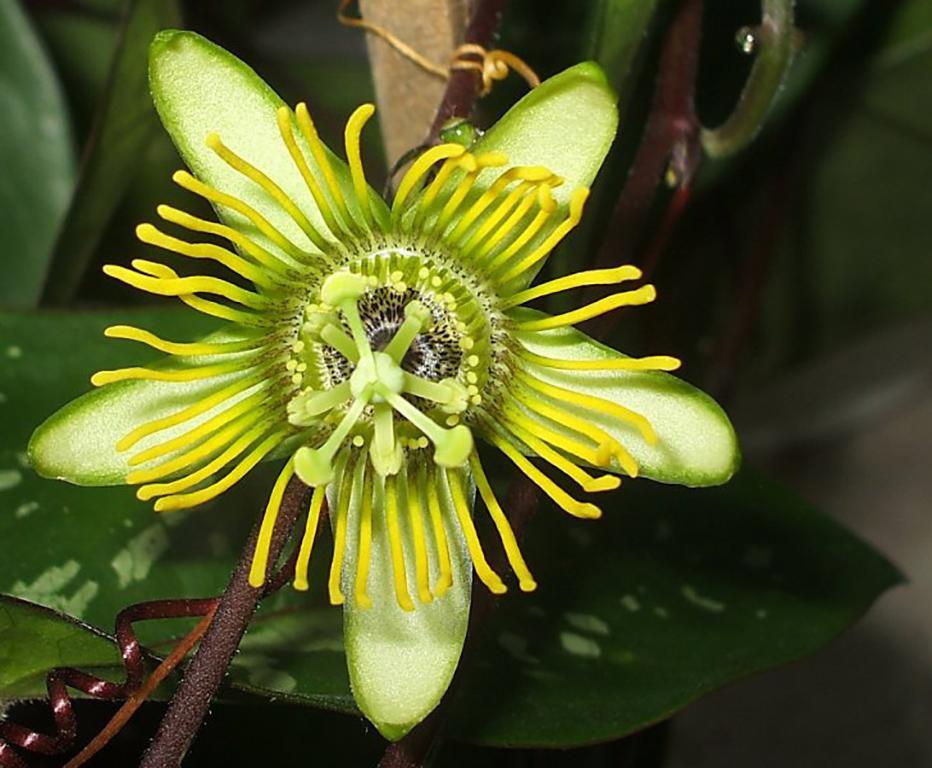 Passiflora Albert geltonai žydinti atmaina