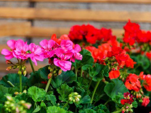 Gėlės nuotrauka. (Pavadinimas: Pelargonija)